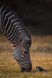 Zebra & bird