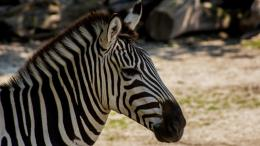 two-animals-make-zebra_d1f492a413c9f33e